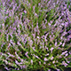 Thumbnail photograph of Wild Calluna Vulgaris