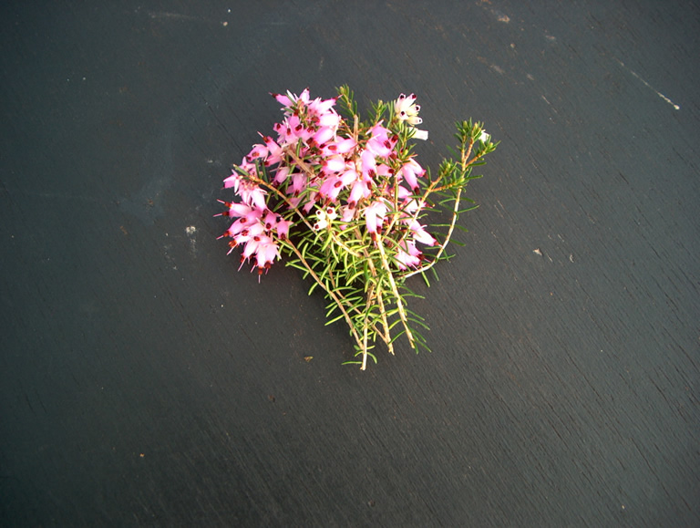 Thumbnail photograph of Springwood Pink